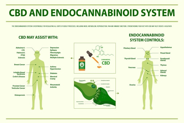 CBD-and-Endocannabinoid-System-horizontal-infographic-illustration-about-cannabis-as-herbal-alternative-medicine-and-chemical-therapy-healthcare-and-medical-science